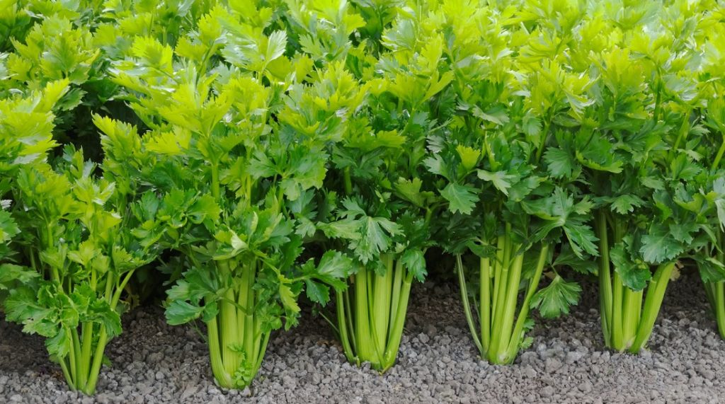 What are the benefits of celery juice?
